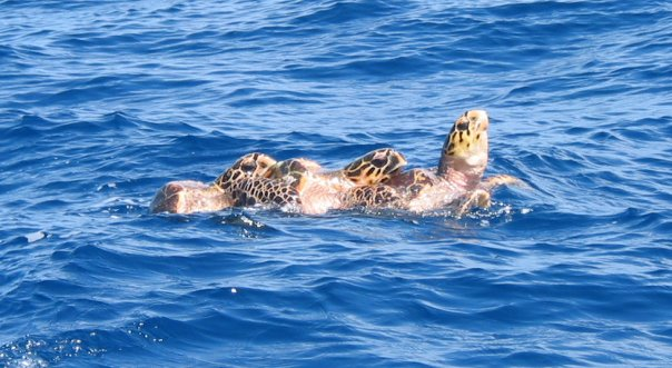 Menage 'toi (as tortoise).  Taken off St. Croix.  One of my all time fave pics.