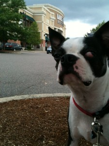 Boston terrier from Texas outside a Barnes and Noble in Boston.