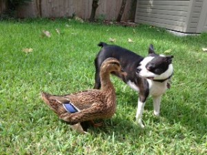 petey and the duck