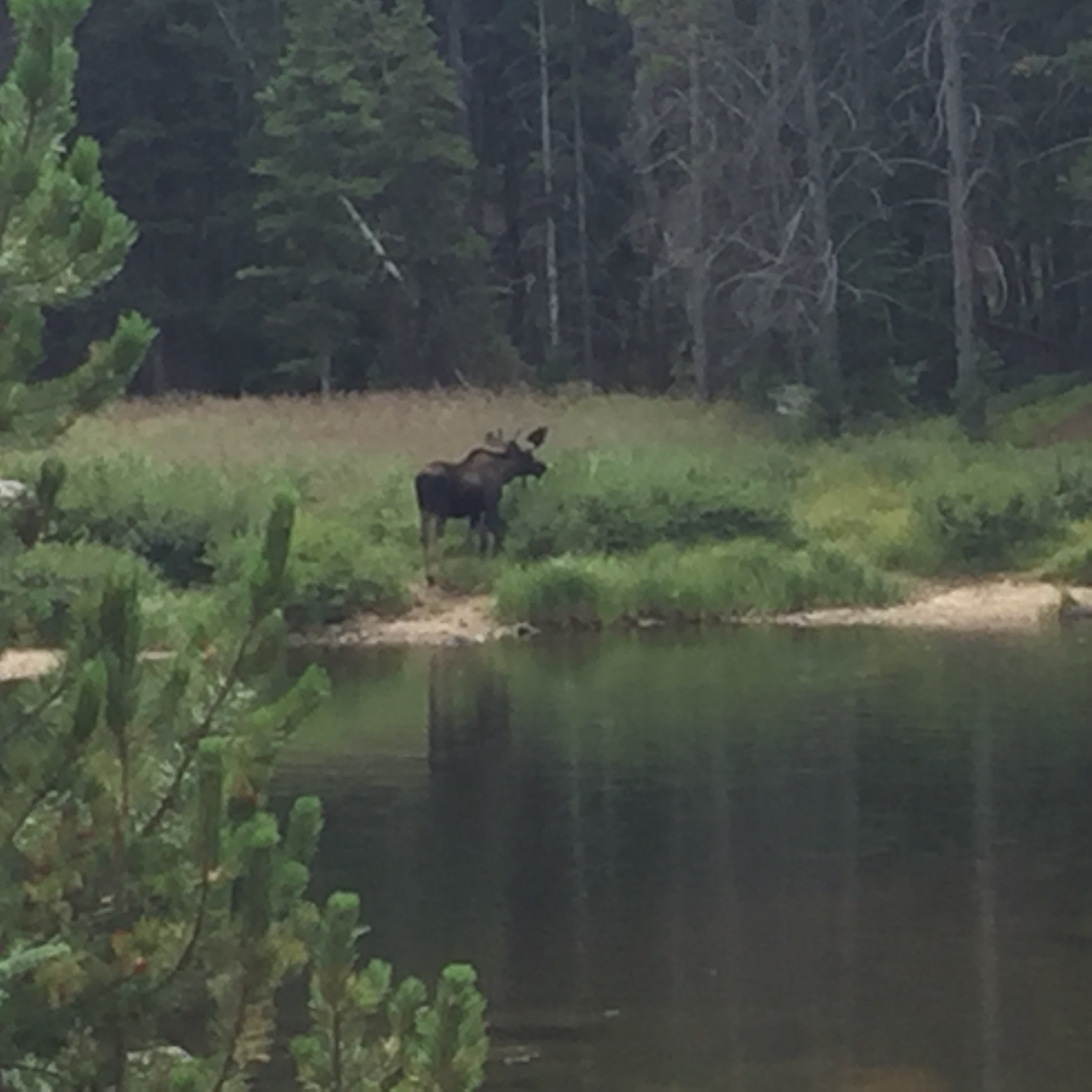 twin lakes bull moose